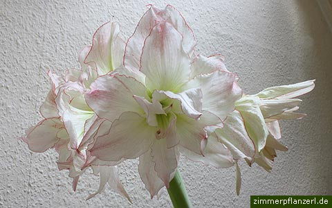 amaryllis ritterstern hippeastrum pflege. Black Bedroom Furniture Sets. Home Design Ideas