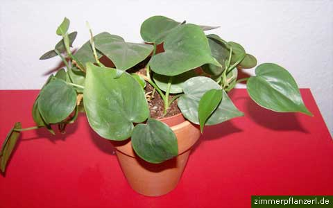 philodendron-scandens.jpg