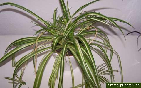 gruenlilie-chlorophytum.jpg