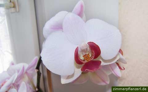 phalaenopsis-bluete.jpg