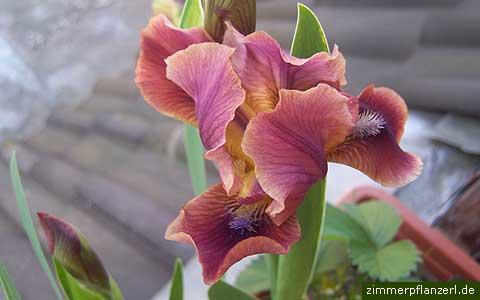 schwertlilie-iris.jpg