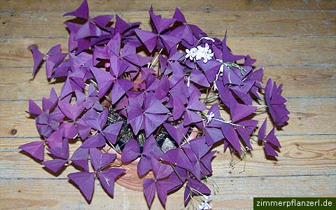 oxalis-triangularis.jpg