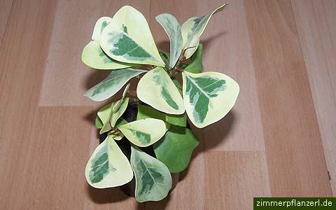 ficus-natalensis.jpg