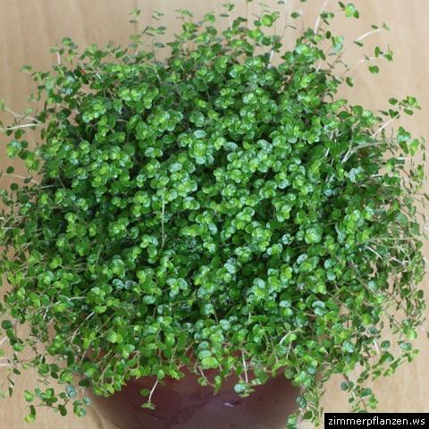 bubiköpfchen soleirolia soleirolii