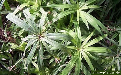 zypergras cyperus alternifolius zimmerpflanzen pflege. Black Bedroom Furniture Sets. Home Design Ideas