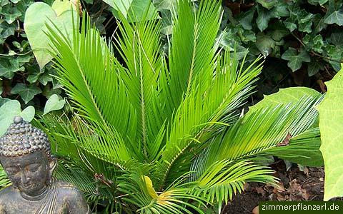 palmfarn-cycas-revoluta.jpg
