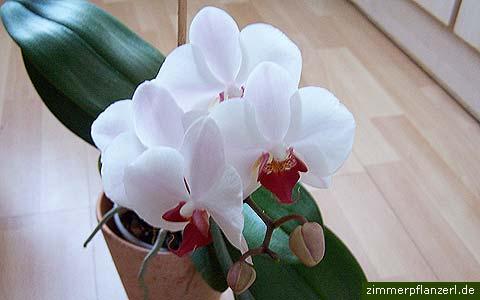 phalaenopsisbluete.jpg