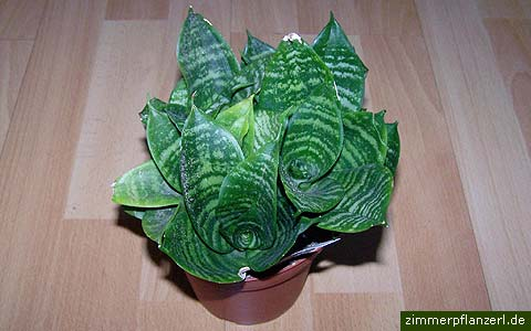 sansevieria-green-hahnii.jpg