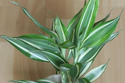 drachenbaum dracaena sanderiana