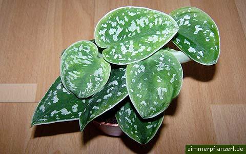scindapsus-pictus.jpg
