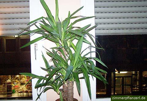 yucca-palme (yucca gigantea, syn. elephantipes), Hause deko