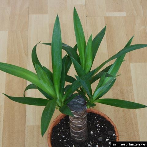 drachenbaum dracaena surculosa. Black Bedroom Furniture Sets. Home Design Ideas