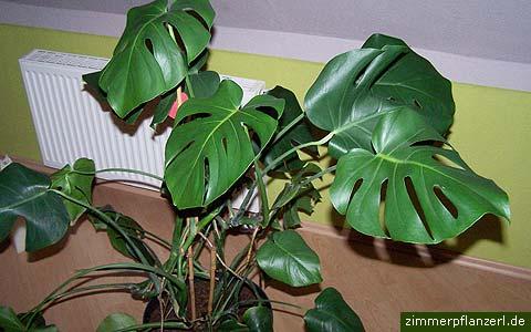Ingrijirea plantei consta in udarea aproape zilnic, fertilizarea de ...