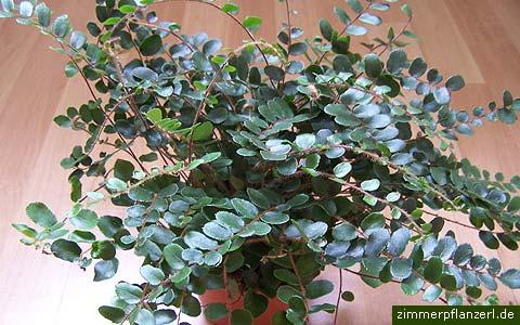 pellefarn (pellaea rotundifolia)