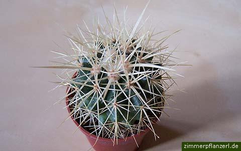 schwiegermuttersitz (echinocactus grusonii)