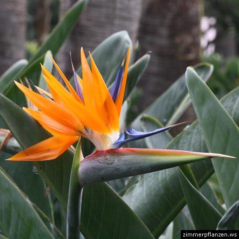 Ganz und zu Extrem Paradiesvogelblume (Strelitzia reginae) &UN_23