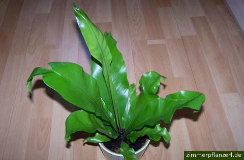 nestfarn (asplenium nidus)