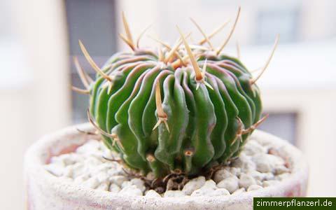 lamellenkaktus stenocactus multicostatus