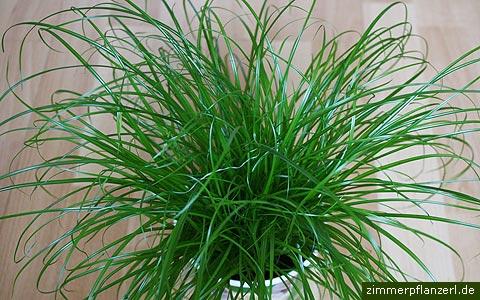 cyperus zumulu