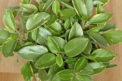 peperomia orba zwergpfeffer
