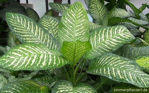zimmerpflanzen bestimmen zimmerpflanzen pflege. Black Bedroom Furniture Sets. Home Design Ideas