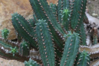 euphorbia jansenvillensis