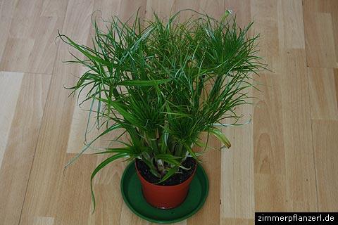 Papyrus zimmerpflanze