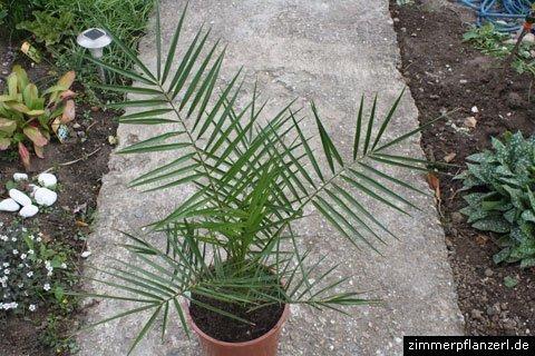 dattelpalme-phoenix-canariensis