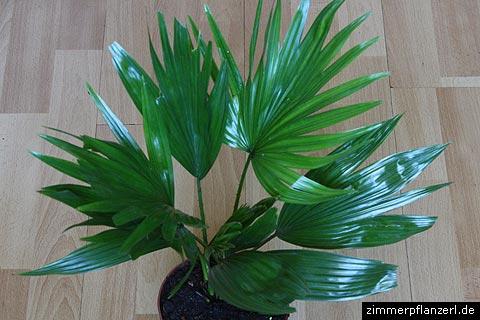 livistona-rotundifolia