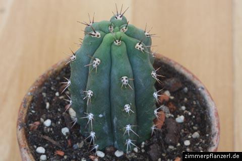 echinopsis-trichocereus-peruviana