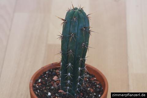 san-pedro-kaktus (echinopsis pachanoi, syn. trichocereus pachanoi)