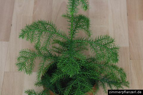 zimmertanne (araucaria heterophylla)