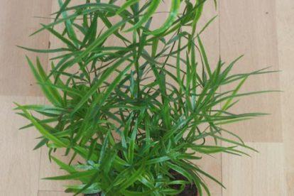 Zierspargel (Asparagus falcatus)