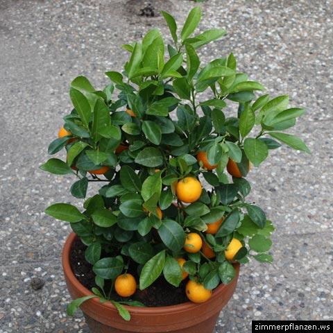 calamondin zwergorange mini mandarine citrofortunella citrus. Black Bedroom Furniture Sets. Home Design Ideas