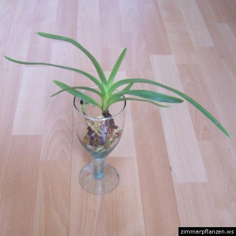 hopsing ich habe mir im november eine wundersch ne blaue wanda orchidee gekauft habe sie wie. Black Bedroom Furniture Sets. Home Design Ideas