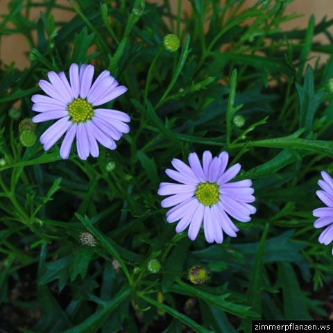 brachyscome iberidifolia blaues gänseblümchen