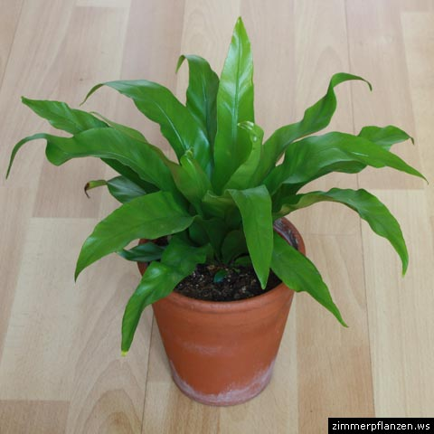 nestfarn asplenium nidus zimmerpflanzen pflege. Black Bedroom Furniture Sets. Home Design Ideas