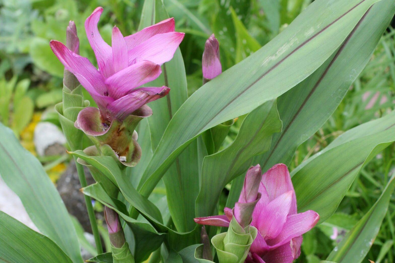 Curcuma alismatifolia Safranwurz