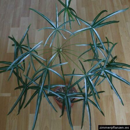 glücksbaum brachychiton rupestris