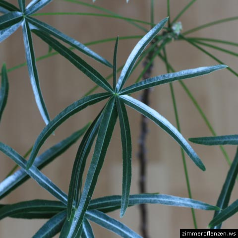 gluecksbaum brachychiton