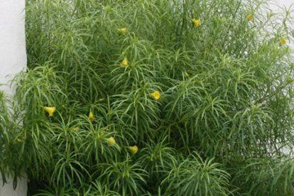 thevetia peruvian tropischer oleander
