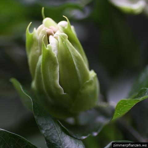 passionsblume passiflora caerulea. Black Bedroom Furniture Sets. Home Design Ideas