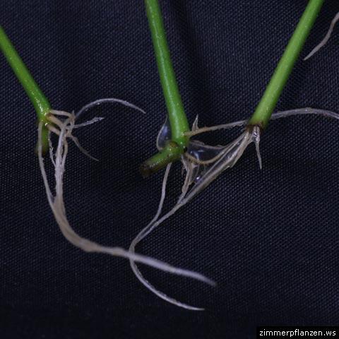 ruellia wurzeln