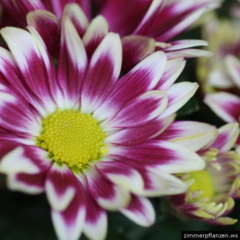 chrysanthme blüten