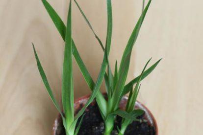 dracaena jungpflanzen