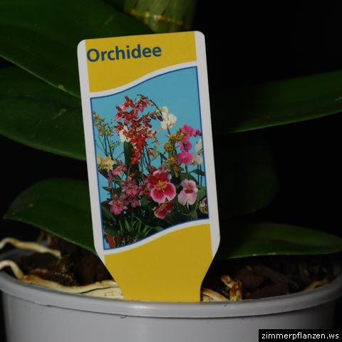 etikett-orchidee