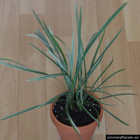 yucca palme yucca gigantea syn elephantipes zimmerpflanzen pflege. Black Bedroom Furniture Sets. Home Design Ideas