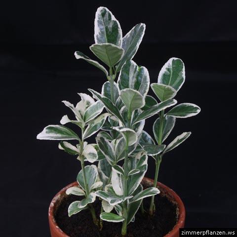 euonymus japonicus spindelstrauch