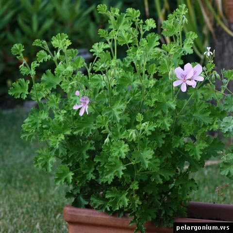 pelargonium citriodorum