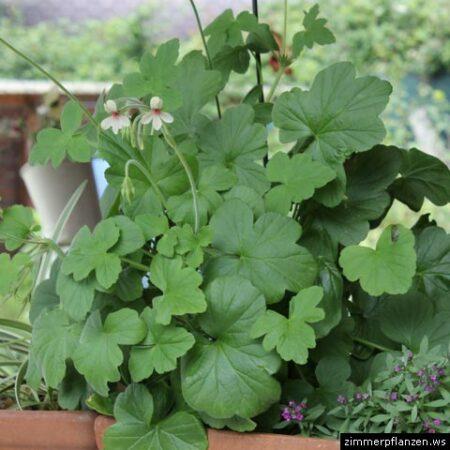 pelargonium quinquelobatum